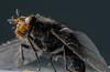 Legyezzünk :) (T.D.A.Photography) Tags: macro nikon dslr d7000 dg insect in flash mk910 meike magyarország rovar bogár