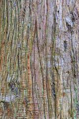171011_110705_AB_1620 (aud.watson) Tags: canada westvancouver seatoskyhwy route99 pointatkinson horseshoebay burrardinlet lighthousepark beaconlane pointatkinsonlighthouse built1871 westernredcedar thujaplicata britishcolumbia temperaterainforest coast coastline forest wood tree trees gymnosperms conifer conifers pine pines spruce bark westernredcedarbark oldgrowthforest trunk ca