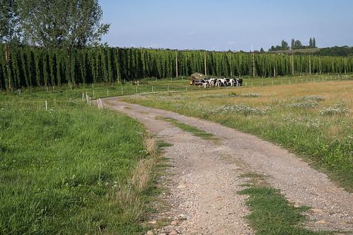 Hopfenplantage