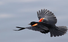 Red Winged Blackbird (Bill G Moore) Tags: bird wildlife blackbird redwing