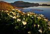 Calla Lilies, Rodeo Beach, Marin Headlands (It's Hoy) Tags: marinheadlands rodeobeach sausalito