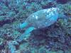 Sea turtle (Peter_069) Tags: tauchen diving scuba malediven maldives äqypten egypt wasser water underwater unterwasser padi fische fisch fish shellfish muscheln moräne moränen moraine batfish fledermausfisch koralle korallen coral nemo clownfisch clownfish boot boat vessel blaueswasser bluewater