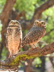 Coruja-buraqueira (Alexandre Marino) Tags: corujaburaqueira athenecunicularia pássaros birds aves corujas owls