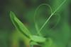Love? Just go on in that direction. (Gudzwi) Tags: crazytuesdaytheme 7dwf heart hearts ctt smileonsaturday love herz grün green plant pflanze garten garden leaf blatt ranke tendril bokeh sos nature natur heartshaped macro makro monochrome einfarbig monochrom