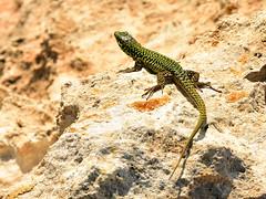 Podarcis filfolensis (bathyporeia) Tags: podarcisfilfolensis reptile reptilia reptiel lizard malta ©hanshillewaert