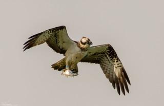 Osprey Fishing The Catch