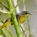 Cape Robin-Chat (Cossypha caffra) juvenile
