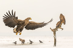White-tailed eagle / Zeearend (Wim Hoek) Tags: sneeuw hongarije roofvogel wildlife winter nature vliegend birds zeearend outdoor wellhide havikachtigen januari 2018 accipitridae bird birdflying birdinflight birdinsky birdofprey birdsinthewild diereninhetwild europesezeearend flurry flying greyseaeagle haliaeetusalbicilla hungary january natural naturalbeauty natuur raptor raptors roofvogels snow vogels whitetailedeagle wings birdfeathers feathers naturalbackground újszentmargita hajdúbihar hu