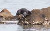 Eastern Reef Egret - Ardea sacra-6462 (rawshorty) Tags: rawshorty birds nsw australia portmacquarie