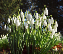 2018_02_0210 (petermit2) Tags: snowdrop snowdrops brodsworthhall brodsworth doncaster southyorkshire yorkshire englishheritage garden gardens heritage heritagegarden