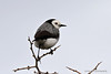 White-fronted Chat (0369) (Oz Nature Shots) Tags: whitefrontedchat chat small bird birds australia birdlife emmysilvius emmy silvius oznatureshots fauna wings bill grass grasslands black white altona victoria vic shrub tree trees trunk woodland green insect feathers epthianuraalbifrons