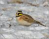 Horned Lark (Birds&More) Tags: hornedlark lark fermilab