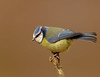 Blue Tit (microwyred) Tags: birdwatching feather birds abstracts perching wildlife