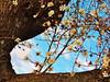 amandier en fleur (danie _m_) Tags: almondtree flowers winter naturepic lovenature trunks branchs flowerpower sky colors beautiful nature arbre amandier fleurs tronc branches ciel