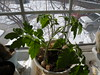 Random Tomato Plants (BargeCaptain) Tags: roma tomatoes surprise plants winter seeds avacado