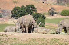 DSC_4182 (Andrew Nakamura) Tags: animal mammal rhino rhinoceros whiterhinoceros southernwhiterhinoceros southernwhiterhino feeding sandiegozoosafaripark safaripark escondido