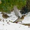 20180301 Fieldfare Snow LC Inkberrow Worcestershire (rodtuk) Tags: 5star flipublic natbird ukworinkberrow