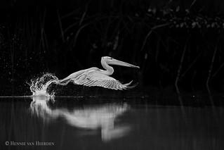 The brief Pelican