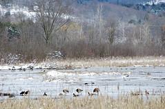 Winter Wetlands (pecooper98362) Tags: binghamton newyork broomecounty fallonroad wetlands thomascreek marsh winter cold winterwetlands geese canadageese brantacandensis crategeese ducks water ice woodlands bolandpond