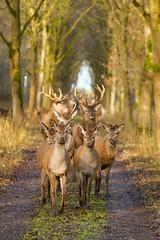 closer ... (Alex Verweij) Tags: stag oostvaardersplassen almere alexverweij canon 12meter close closer edelhert edelherten nature natuur wild hiding camouflage