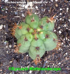 Trichocereus pachanoi Cv.'Ayacucho' (Pic #3 Apex detailed) (mattslandscape) Tags: trichocereus pachanoi cv ayacucho hybrid peru echinopsis