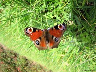 Butterfly 1558