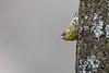 Tarin des aulnes - Spinus spinus - Eurasian Siskin (olivier teilhard) Tags: tarindesaulnes spinusspinus eurasiansiskin oiseau nature sauvage libre vercors diois drôme rhônealpes france canon7dmarkii olivierteilhard