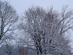 Snow Covered Trees (RockN) Tags: snow snowstorm trees january2018 worcester massachusetts newengland