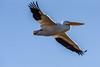 C2N_8603 (Clark Engbrecht) Tags: cheneylake kansas winter birds ice lakes nature outdoors waterfowl pelican