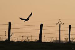 La buse du soir (Richard Holding) Tags: bird birdinflight buse buzzard campagne couchersoleil countryside eure m43 nature normandie normandy oiseau oiseauenvol olympus omd rapace silhouette sunset wildlife