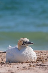 Fou de Bassan (5) (boisvertvert1) Tags: 2018 michelboisvert foudebassan floride birds northerngannet oiseau florida québec plage beach mer sable eau