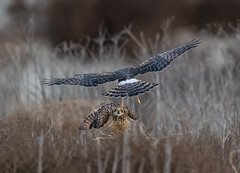 Unexpected visitor (knobby6) Tags: shortearedowl northernharrier raptors birdsofprey california nikond5 600mm shorty