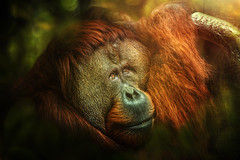 Melancholia (Chrisnaton) Tags: orangutan monkey animal jungle surreal nature melancholia