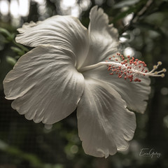 White Hibiscus (Enio Godoy - www.picturecumlux.com.br) Tags: viveza215928342445 bokeh sonyalpha clouseup flower sony texture niksoftware 1x1 details brazil fozdoiguaçu hibiscus birdspark macro iguassufalls sonyalpha6300 a6300