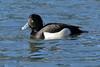 Male tufted duck (david.england18) Tags: tuftedduckmale geese mallards localpark queensparkheywood canon7dmkll canonef300mmf4lisusm birdsuk