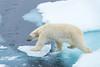 Stepping Out (Keith - Glasgow) Tags: norway svalbard mammals bear wildlife spitzbergen travel nature polar toppredator animals packice polarbear seaice arctic ice