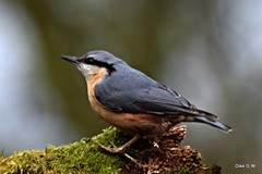 Nuthatch (Diko G.W.) Tags: eastayton north yorkshire nuthatch nikond3300