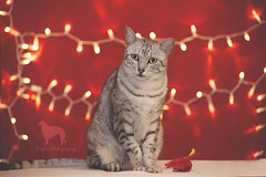 Valentines Boy (Proper Photography) Tags: feline cat egyptianmau egyptianmaucat silver egyptian mau silveregyptianmau spots stripes greeneyes red lights stringlights meow domesticcat petcat petography pet petphotography petportrait kitty valentine valentines valentinesday 2018 canon canoncamera canon5dmarkii bright warm cute adorable male noellebabinski properphotography