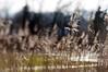 HBW 7/2018 (Frau Koriander) Tags: hbw happybokehwednesday bokehwednesday bokeh dof nikond300s lensbaby lensbabycomposerpro lensbabycomposerproedge80 lensbabyedge80 80mm schärfeverlauf gras halme windy light mönchbruch mörfeldenwalldorf tilt tiltshift