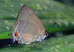Rekoa marius? (hippobosca) Tags: butterfly lycaenidae peru rekoamarius lepidoptera macro insect hairstreak