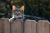 Cat portrait (deanrr) Tags: cat kitty catears fence backyard morgancountyalabama alabama bokeh catportrait wood backlit tree animal dof whiskers paws ears 2018