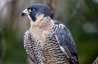 PEREGRINE FALCON (Falco peregrinus) - Stillman Nature Center South Barrington IL