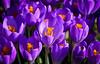 FRÜHLINGSBOTEN (K&S-Fotografie) Tags: flower beauty park spring krokus color garden lila green blossom blume makro hell