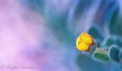 Innocence (frederic.gombert) Tags: flower bloom blossom yellow color colors colored blue garden plant macro soft nikon d850 sun spring sunlight