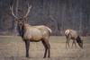The Stare-Down (JeffMoreau) Tags: bull elk benezette pennsylvania cameron county sony a7ii 200mm glens master lens bokeh wildlife rack antlers
