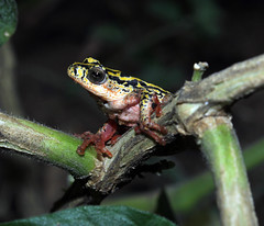 Marbled Reed Frog (Lachlan.Mulhearn) Tags: hyperolius marmoratus st lucia south africa painted reed frog marbled striped rush variegated ahls african