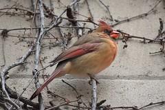 Spring feast (marensr) Tags: bird cardinal cardinalis ivy berries stone wall university chicago