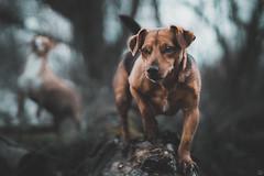 """Dachshund Mix """"Cosmo"""" (Cle Manuel) Tags: dogs nature shooting hundefotograf tierfotograf tierfotografie dog hunde erlangen nürnberg franken bayern fotograf clemanuel cle manuel sony alpha canon fd vintage lens analoges objektiv"""