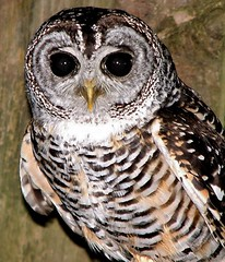 Wise One (Kevin Pendragon) Tags: rufuslegged owl eyes brow whire black nature outdoors southamerica woodlands cornwall face