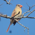 Northern Cardinal, February 25, 2018, Chisholm Trail, Plano, Texas thumbnail